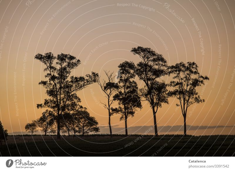 Die Silhouetten der Eukalyptusbäume heben sich am Horizont vom Abendhimmel ab Natur Landschaft Dämmerung Pflanze Baum Himmel Abenddämmerung Sommer
