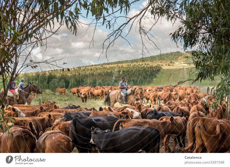 Reiter zählt Rinder aus einer zuvor zusammengetrieben Herde Kuhherde Tiergruppe Tierhaltung Landwirtschaft Grasland Weide Fauna Flora Pferd Person Gaucho