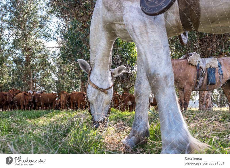Ein  grasendes Pferd steht im Vordergrund, im Schatten der Eukalyptusbäume wartet geduldig eine Rinderherde draußen Natur Sommer Umwelt Landschaft grün Baum