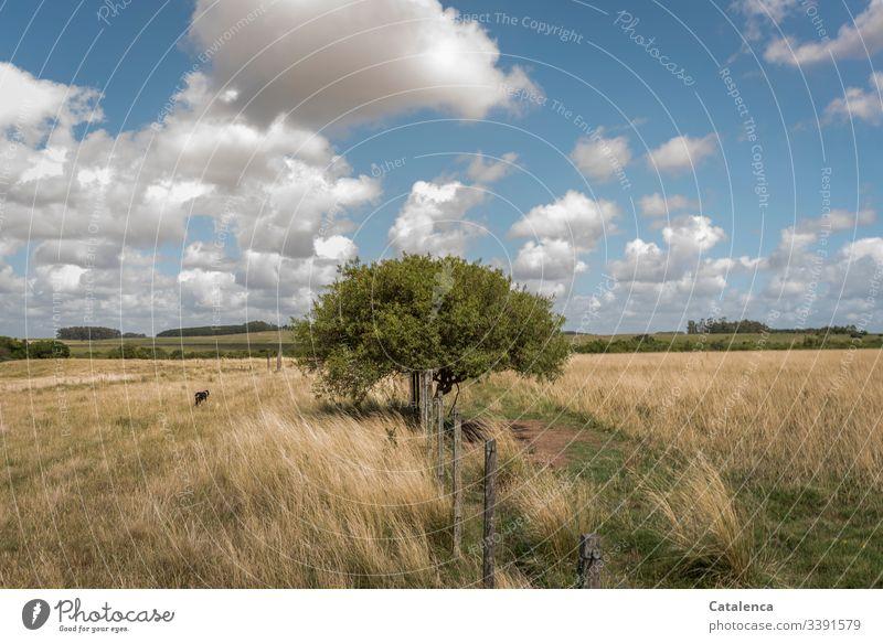 Ein Baum wächst am Weidezaun im Grasland, Schäfchenwolken ziehen am Himmel, ein Hund läuft vorbei, es ist Sommer Zaun Pampa Pflanze Horizont Wolken Landschaft