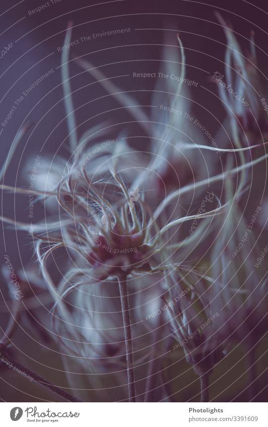 Gewöhnliche Waldrebe - Clematis vitalba - Blüten rosa violett Pflanze Nahaufnahme Außenaufnahme Makroaufnahme Natur Menschenleer Detailaufnahme Unschärfe schön