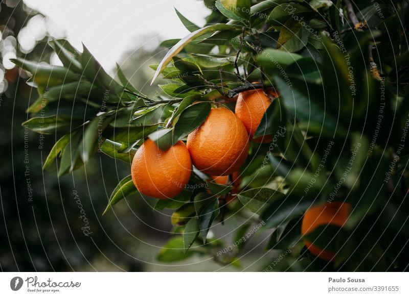 Orangen in einem Baum orange Frucht Gesundheit Vitamin Ernährung Lebensmittel Bioprodukte Farbfoto Gesunde Ernährung lecker Tag Vitamin C frisch natürlich Essen