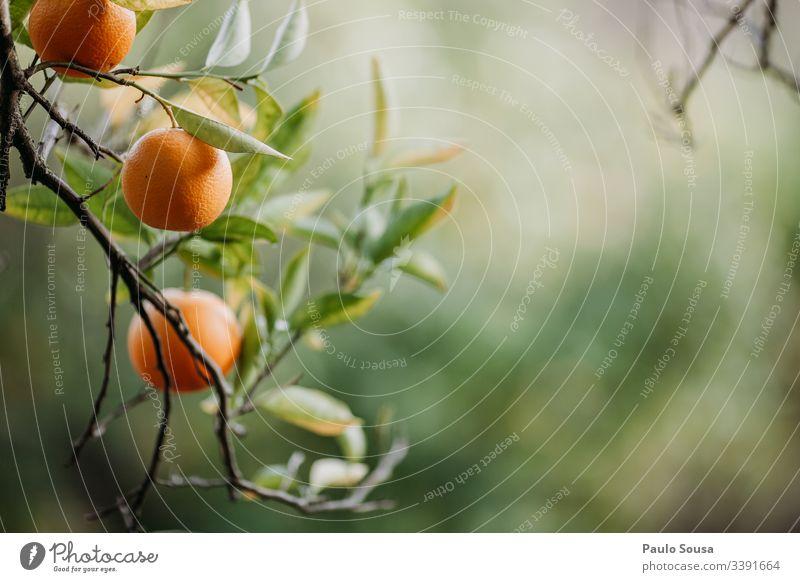 Orangen in einem Baum mit Kopierraumrecht Orangenbaum orange Natur Außenaufnahme Farbfoto Blatt Frucht Umwelt Schönes Wetter Schwache Tiefenschärfe Sonnenlicht