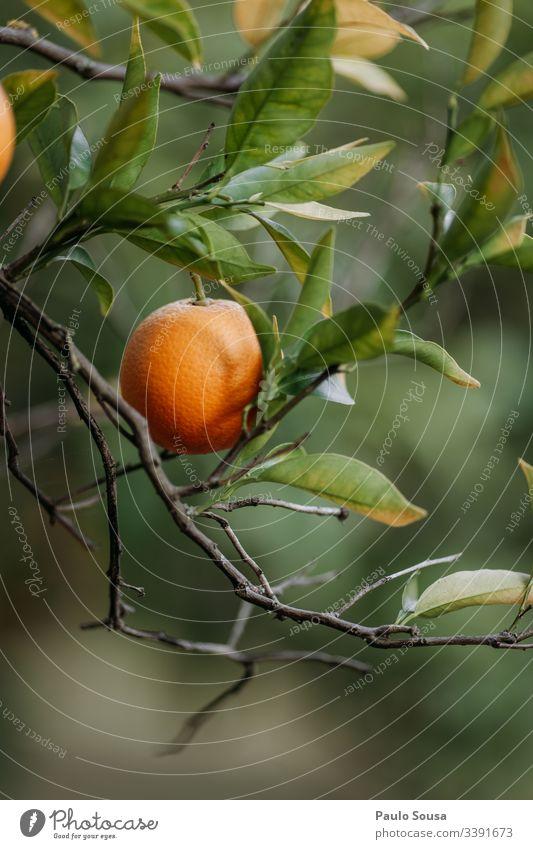 Nahaufnahme einer Orange in einem Baum Orangenbaum Orangenhain orange Farbfoto Natur Leerzeichen nach unten kopieren Außenaufnahme Gesundheit Vitamin C
