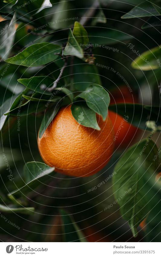 Nahaufnahme einer Orange in einem Baum Orangenbaum orange Natur Farbfoto Orangenhain Frucht Gesundheit Umwelt Außenaufnahme Tag Textfreiraum unten