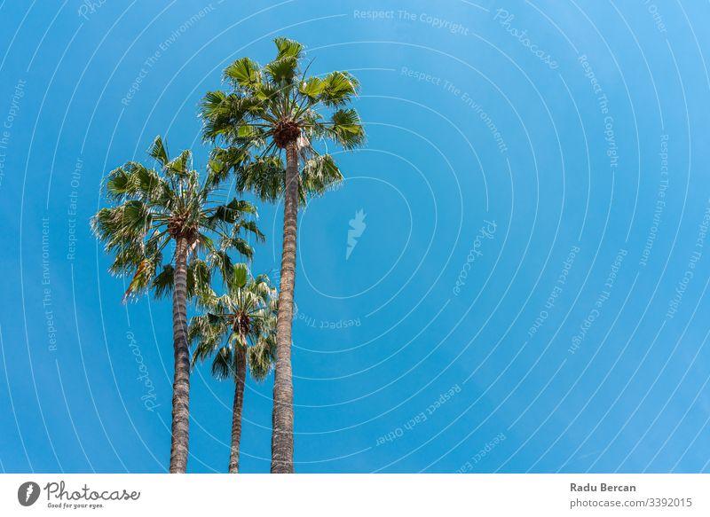 Palmen im Bundesstaat Kalifornien Sonnenlicht idyllisch ruhig Kokosnuss Bäume Menschengruppe Urlaub malerisch Design amerika USA Los Angeles Tiefblick