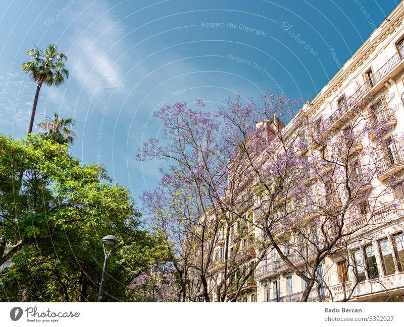 Violett blühende Bäume im Zentrum der Stadt Barcelona in Spanien Stadtzentrum Architektur Großstadt purpur Baum Blume Natur schön Frühling Blütezeit Hintergrund