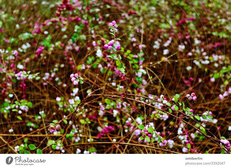 Hecke im Frühling garten hecke frühling frühjahr blüte blühen vegetation dickicht ast zweig hintergrund textfreiraum menschenleer frühblüher kleingarten