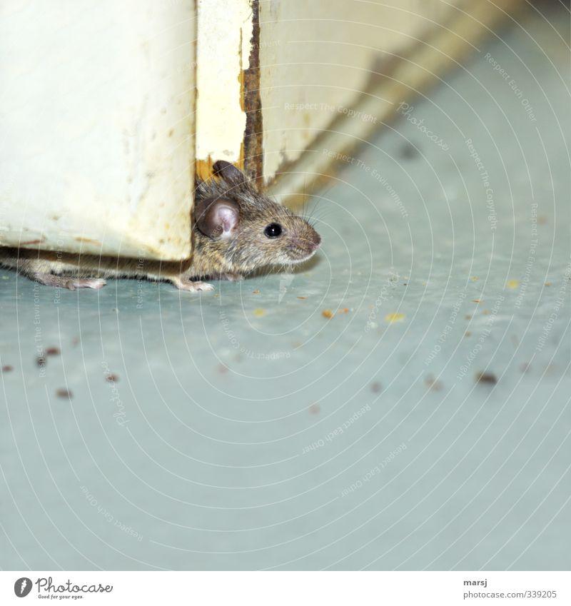 Kurti, ich glaub die Luft ist rein Tier grau beobachten einfach gruselig Haustier Maus Ekel