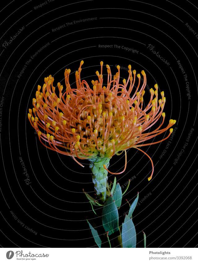 """Blüte """"Nadelkissen"""" - schwarzer Hintergrund dunkel Nahaufnahme Makroaufnahme Textfreiraum unten gelb Pflanze mehrfarbig schwarzer hintergrund grün Stachel spitz"""