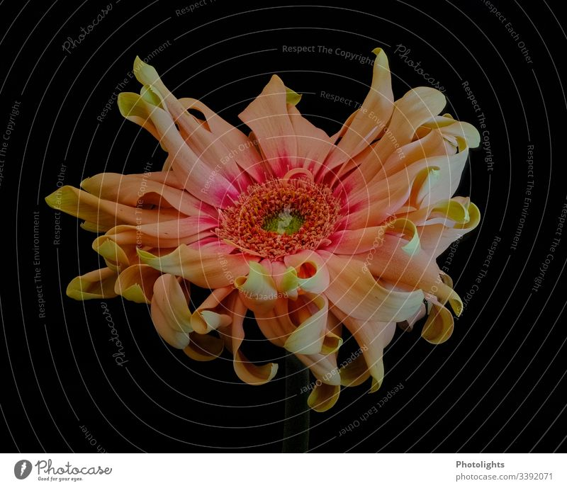 Blume mit gelockten Blütenblättern gelb grün orange pink Flamingo rosa Natur Frühling Innenaufnahme zart zerbrechlich schön außergewöhnlich zauberhaft