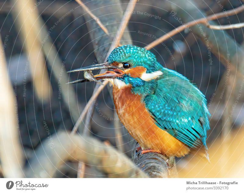 Eisvogel mit Fisch im Schnabel leuchtende Farben Detailaufnahme Natur Vogel Wildtier Tier Zweige u. Äste Flügel Gefieder Federn Auge Menschenleer