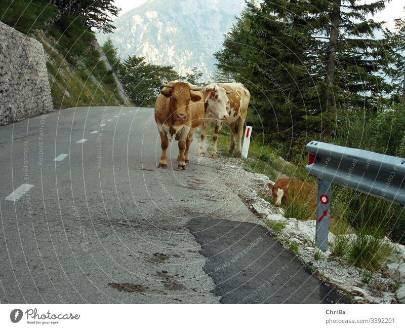 Kühe auf einem Pass in den Allgäuer Alpen alpenländisch Berge kühe rotbunt vieh fleckvieh Nutztier Straße Alpenpass Straße passieren gebirge hochgebirge kalb