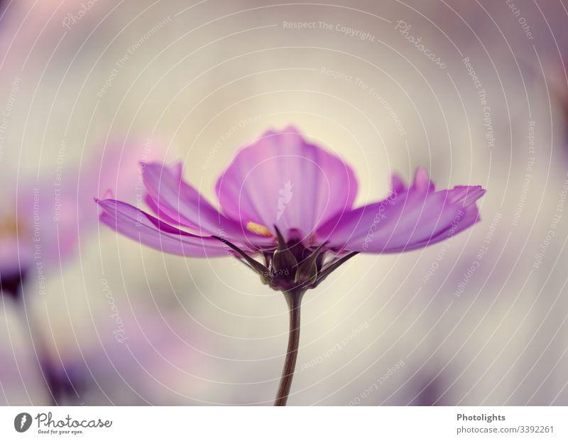 Cosmea - Schmuckkörbchen 2 Umwelt Natur Pflanze Sommer Blume Blüte Totale Garten Blühend Detailaufnahme Menschenleer Außenaufnahme Farbfoto Leben
