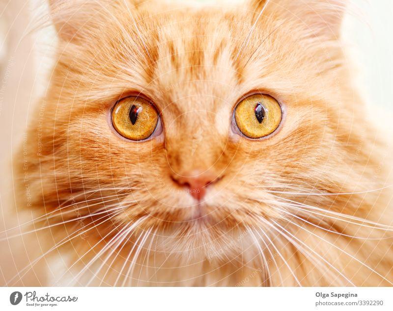 alte rote Katze Gesicht Tier schließen nach oben Porträt heimisch Auge katzenhaft Katzenbaby Kopf Nahaufnahme Haustier Säugetier niedlich Fell Nase Blick