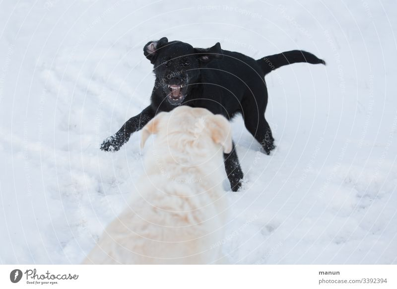 Zwei spielende Hunde im Schnee, bei denen ein kleiner schwarzer Welpe einen weißen Hund Zähne fletschend zum Spiel auffordert, was aggressiv aussieht, es aber nicht ist, weshalb der große weiße und ältere Hund dem Wildfang gelassen zuschaut
