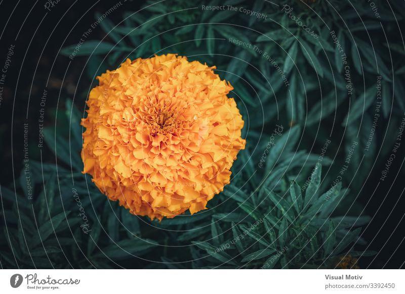 Orangenblüte der Tagetes erecta, allgemein bekannt als afrikanische Ringelblume Hintergrund schön Schönheit Blütezeit botanisch Botanik Farbe farbenfroh