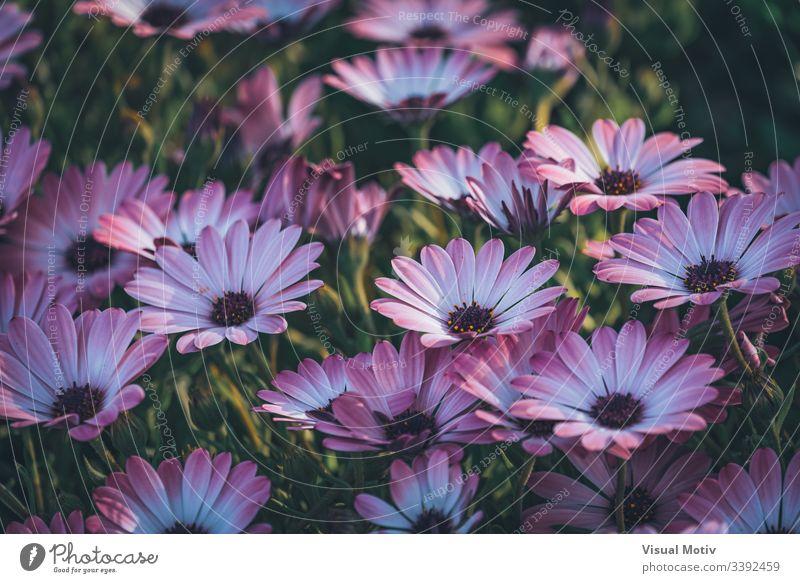 Blüten der Osteospermum 'Soprano Purple', allgemein bekannt als afrikanische Gänseblümchen oder Kap-Gänseblümchen Afrikanische Gänseblümchen Blütenpflanze Blume