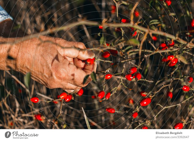 Hände beim Ernten von Hagebutten hagebutten Hand ernten Gartenarbeit garten draußen