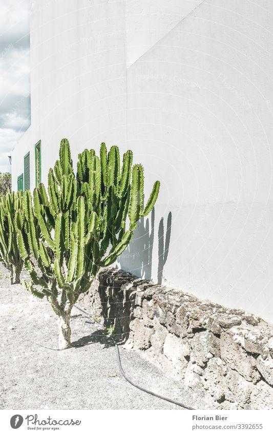 Kaktus in der Sonne vor einer Hauswand Pflanzen Fauna Cactus Fenster Gartenschlauch giessen Bewässerung Kies spitz grün grau weis Gießen Natur heiss trocken
