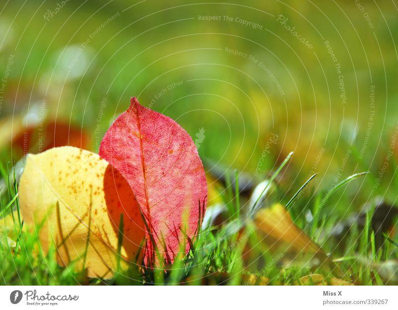 der Herbst ist da Gras Blatt Wiese dehydrieren mehrfarbig Herbstlaub herbstlich Herbstbeginn Herbstfärbung Sonnenlicht Farbfoto Außenaufnahme Nahaufnahme
