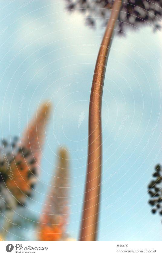 Zierlauch* Frühling Sommer Blume Blüte Garten Blühend Duft Wachstum hoch Stengel Farbfoto mehrfarbig Außenaufnahme Nahaufnahme Detailaufnahme Menschenleer