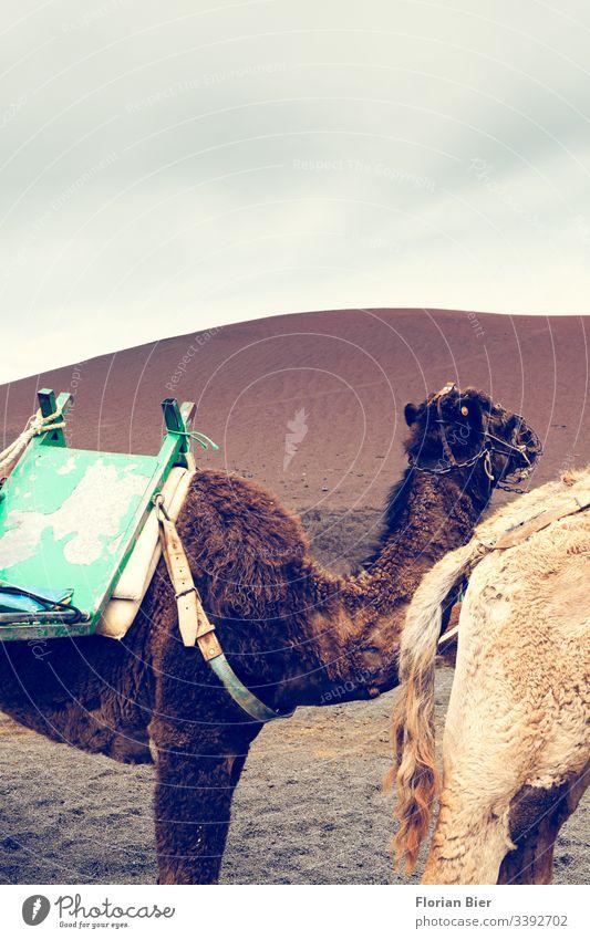 Kamelkaravane in der Wüste Natur Landschaft Düne trocken Tier Karavane Fell braun hell Sattel Sand Ferien & Urlaub & Reisen Tourismus Dromedar Abenteuer heiß