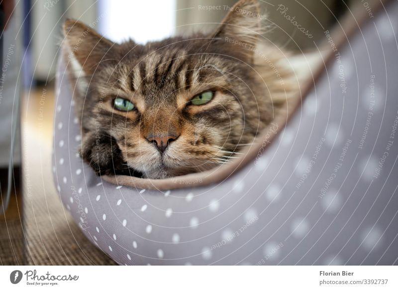 Hauskatze in seinem Körbchen Wachsamkeit warten Kater Skeptik skeptisch hören Katzenohr Katzenauge Katzenkopf Blick in die Kamera Pfote niedlich Tiergesicht