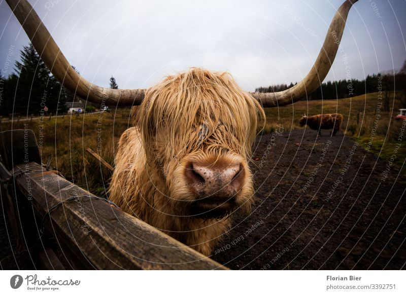 Highland Cow auf einer Weide in Schottland Kuh Highlandcow Tier Nutztier Hörner Horn Fell nass zottelig Zaun Gras Rind Essen Fleisch Durchblick gemühtlich Frei