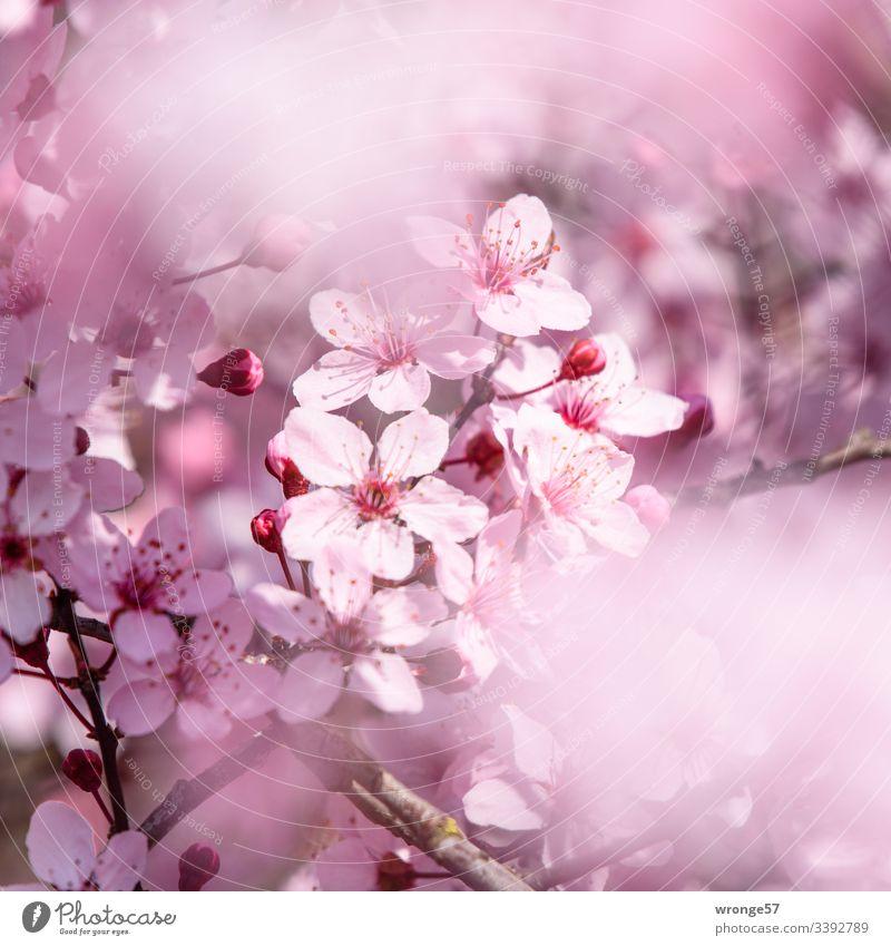 Rosa Blüten der Zierkirsche Frühblüher Frühling Natur Farbfoto Außenaufnahme Schwache Tiefenschärfe natürlich Sonnenlicht Park Baum Zweige Menschenleer