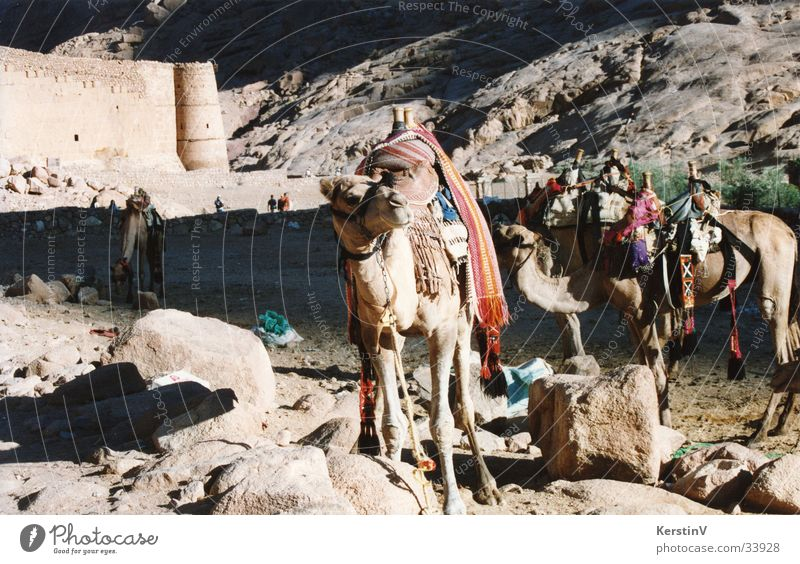 Kamele im Sinai Ferien & Urlaub & Reisen Sonne Tier Berge u. Gebirge Reitsport