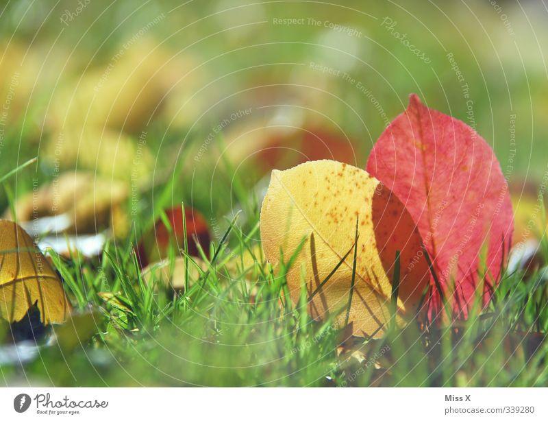 Herbst* Natur Blatt dehydrieren mehrfarbig Herbstfärbung Herbstlaub herbstlich Gras Wiese Farbfoto Außenaufnahme Nahaufnahme Menschenleer Textfreiraum oben