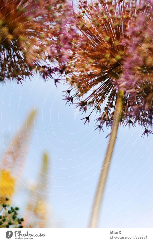 Zierlauch Pflanze Frühling Sommer Blume Blüte Blühend Duft Wachstum Garten Blumenstengel Farbfoto Außenaufnahme Nahaufnahme Menschenleer Textfreiraum unten