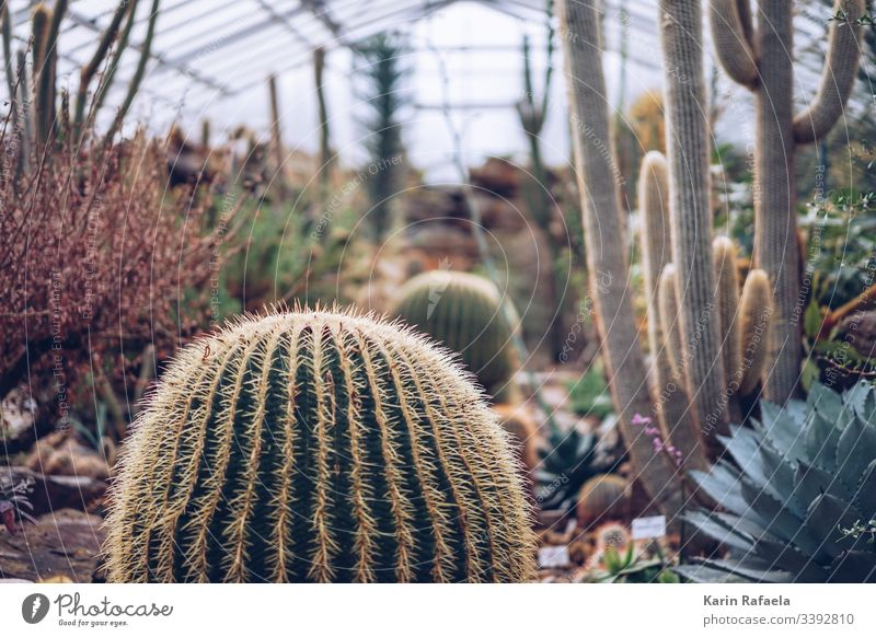 Kakteen im Gewächshaus Kaktus Kakteenstacheln Pflanze grün Farbfoto Stachel Natur Unschärfe Innenaufnahme Tag stachelig Spitze Wüste Menschenleer exotisch