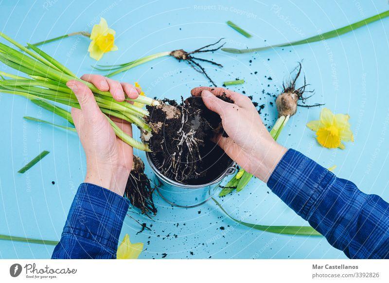 Frauenhände pflanzen Frühlingszwiebeln auf blauem Grund. Konzept der Gartenarbeit. Hände Narzissen Erde Blauer Hintergrund Verpflanzung Dekoration & Verzierung