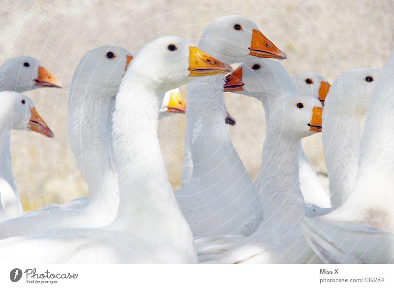 Viele schwarze Augen Lebensmittel Fleisch Ernährung Bioprodukte Tier Nutztier Vogel Tiergruppe Herde weiß schnattern Entenvögel Gans Geflügel Geflügelfarm
