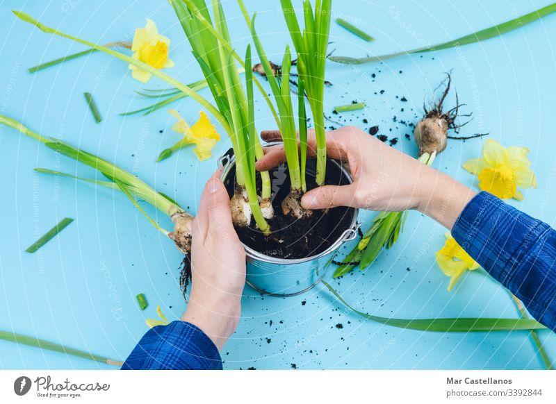 Frauenhände pflanzen Frühlingszwiebeln. Konzept der Gartenarbeit. Hände Glühbirnen Narzissen Erde Blauer Hintergrund Verpflanzung Dekoration & Verzierung