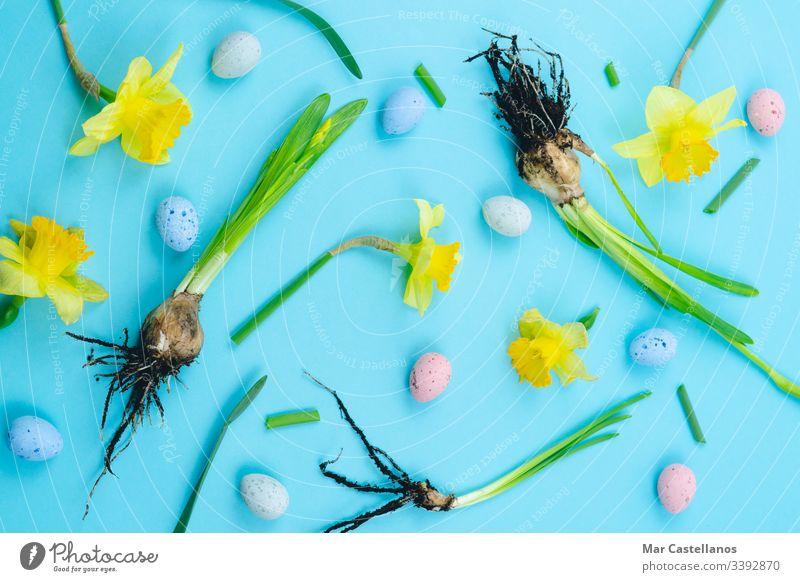 Frühlingszwiebeln bereit zum Verpflanzen. Konzept der Gartenarbeit. Oster-Konzept. Narzissen Glühbirnen Blauer Hintergrund Boden Verpflanzung im Innenbereich