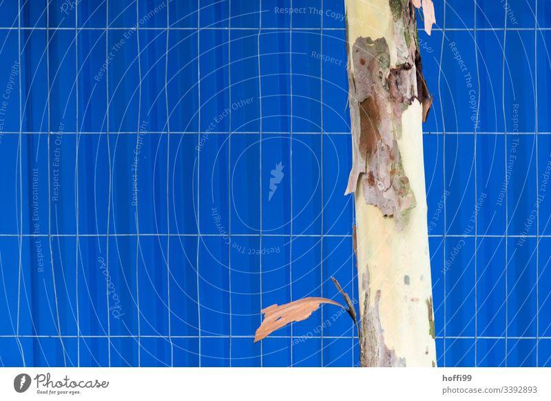Baumstamm einer Platane vor Bauzaun und blauer Fassade Rinde Gitter Zaun gekrümmte linie gitterzaun Außenaufnahme Absperrung Strukturen & Formen Linie Muster