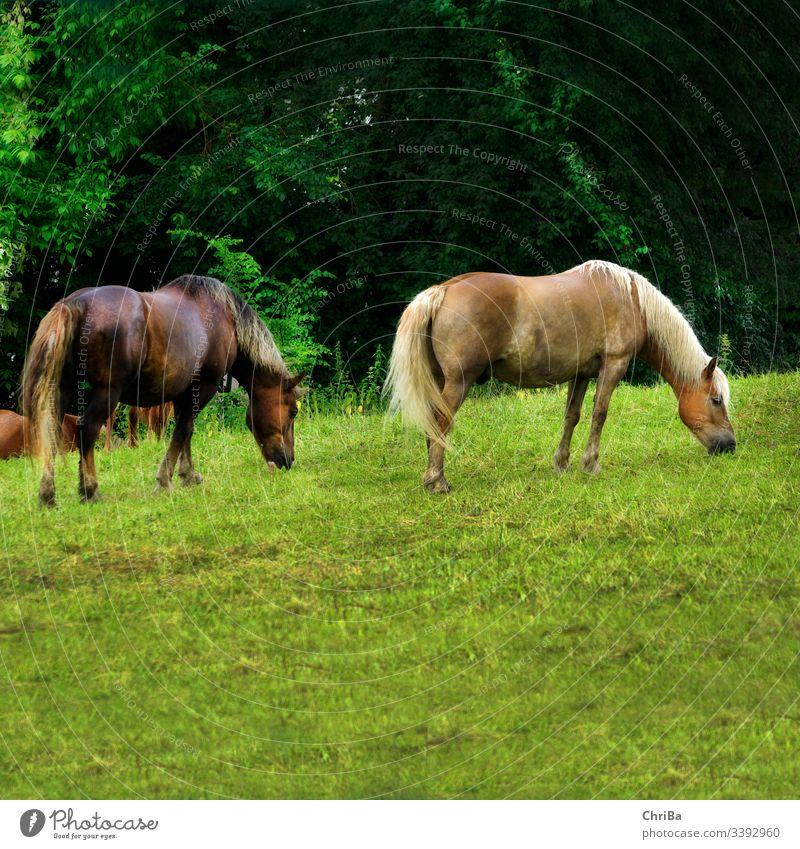 Haflinger und Schwarzwälderfuchs nach dem Regen auf der Koppel Pferd weide koppel regen gras sommer sommerregen hügel Gras Tier Weide Natur Fressen Mähne grün