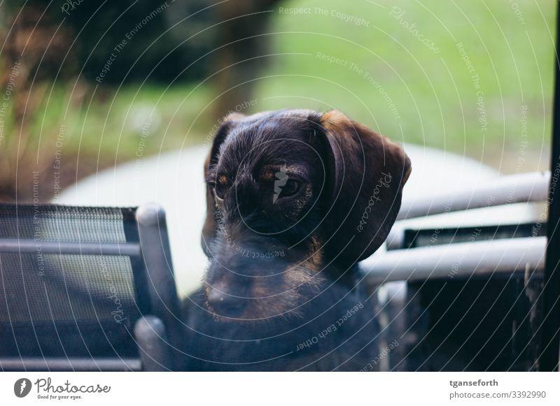 Dackel im Fenster Welpe traurig Tier Hund niedlich Tierliebe Außenaufnahme Haustier Menschenleer Tiergesicht Neugier Innenaufnahme Tierporträt beobachten