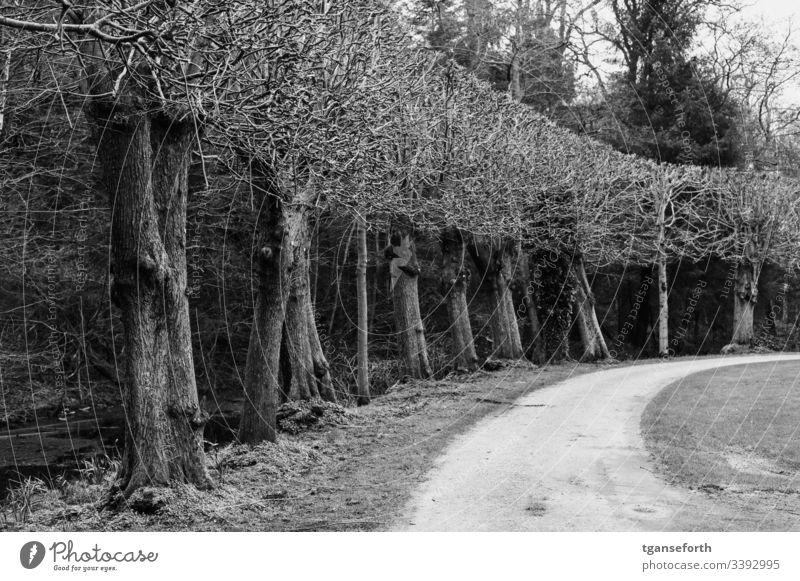 Baumreihe im Winter Schwarzweißfoto Außenaufnahme Landschaft Park kahl kahle Bäume Wege & Pfade Menschenleer Kurve