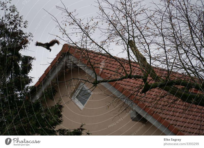 Kühner Sprung von Ast zu Ast...Flug- Hörnchen Farbfoto Aussenaufnahme Tier- Eichhörnchen Menchenleer Wildtier