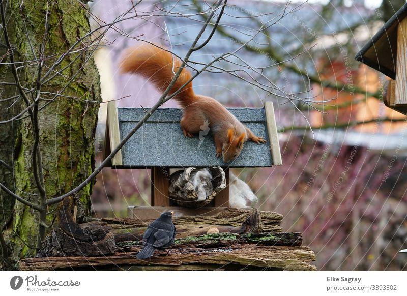 Erstaunte Tier Begegnung am Futterplatz Eichhörnchen & Amsel Menschenleer Farbfoto Tag