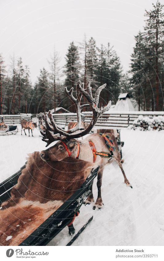Rentier mit Schlitten in verschneiter Landschaft Winter Schnee Geweih Tier Lappland heimisch Säugetier Natur Hirsche niemand polar Norden kalt cool Frost Wetter