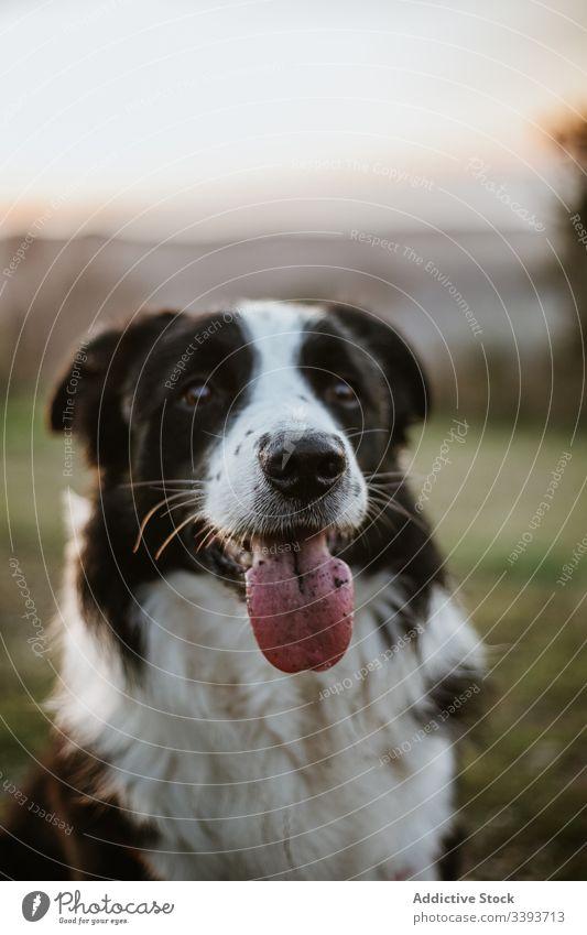 Glücklicher reinrassiger Hund genießt Spaziergang im Park genießen Reinrassig ausspannen Gras Haustier Eckzahn heimisch Freund Säugetier bezaubernd grün loyal