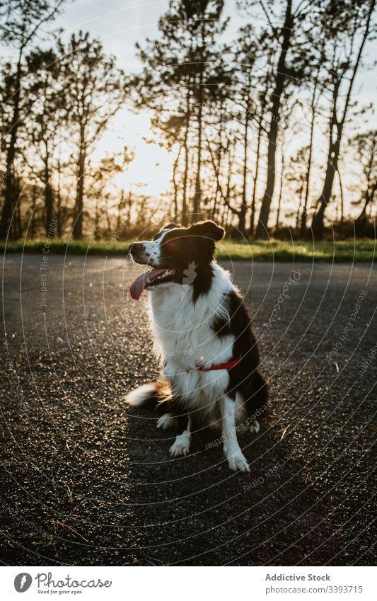 Liebenswerter Rassehund ruht sich auf der Straße aus Hund ruhen reinrassig Reinrassig Asphalt genießen Spaziergang Gras Haustier Eckzahn heimisch Freund