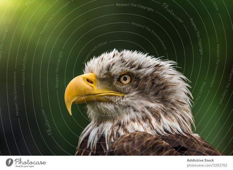 Starker Wildadler rastet am Sommertag Adler wild ruhen beobachten Umwelt Vogel Jäger Tierwelt Fauna Natur Raubtier Feder Lebensraum Bargeld Schnabel