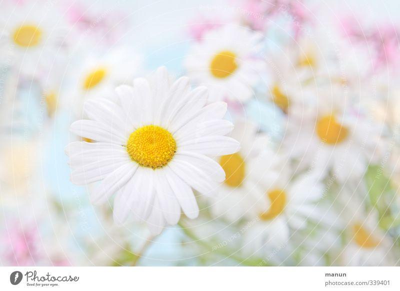 Margeriten Natur Pflanze Frühling Sommer Blume Wildpflanze Wiesenblume hell schön blau rosa weiß Farbfoto Menschenleer Textfreiraum links Textfreiraum rechts