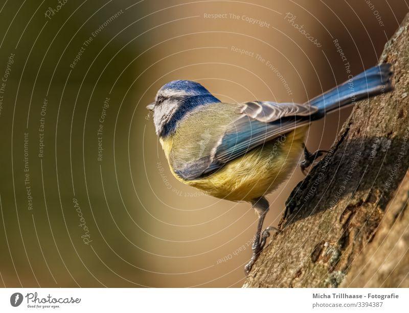 Meise schaut zur Sonne Blaumeise Meisen Cyanistes caeruleus Auge Kopf Schnabel Feder gefiedert Flügel Krallen Tiergesicht Vogel Wildtier Baumstamm Sonnenlicht